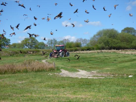 Gigrin Farm Red kite feeding & rehabilitation centre